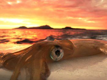 Calamaro illuminato da uno splendido tramonto su Ischia